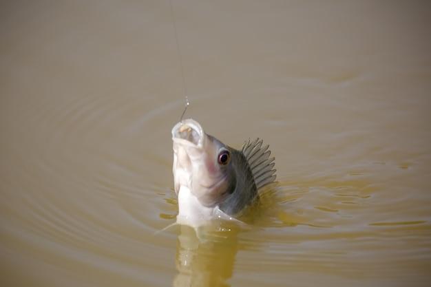 Tilapia to nazwa zwyczajowa kilku gatunków pielęgnic słodkowodnych