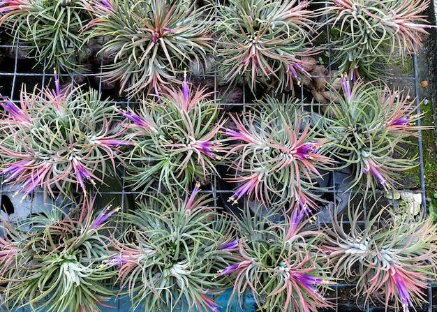 Tillandsia ionantha na farmie roślin ozdobnych