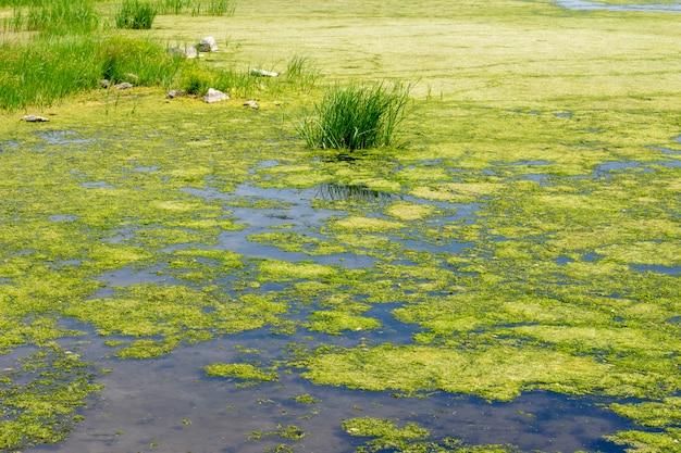 Tina i glony na jeziorze, rzece, stawie. kwitnienie wody. zarośnięta powierzchnia wody