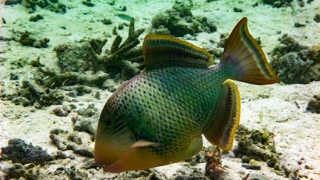 Titan triggerfish na oceanie indyjskim, malediwy.