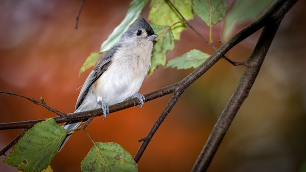 Titmouse tufted