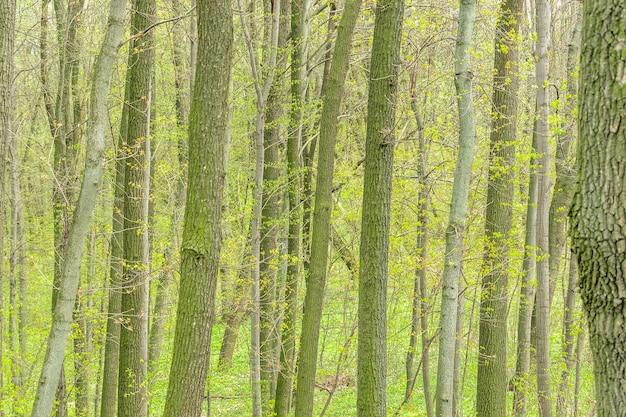 Tle lasu z zielonymi drzewami na wiosnę.