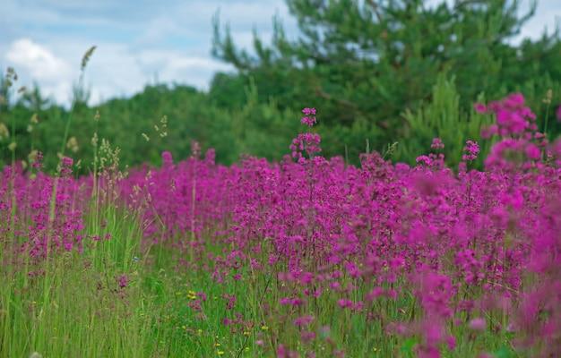 Tle lato natura z różowe kwiaty na łące w słoneczny dzień.