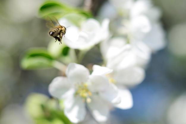 Tle przyrody. kwiaty pszczoły miodnej i białe jabłko.