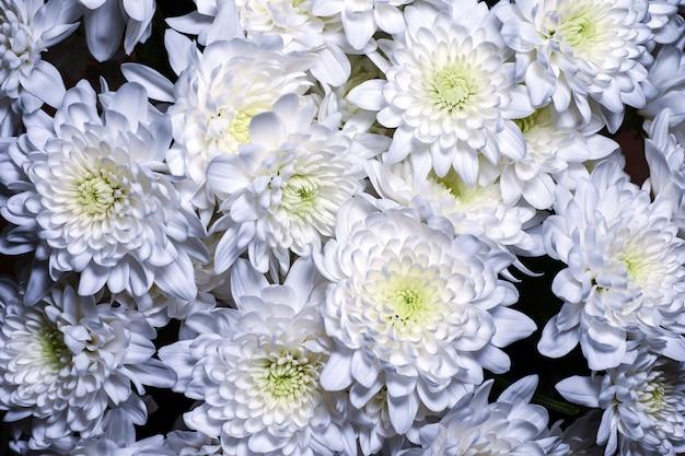 Tło białe astry i chryzantemy