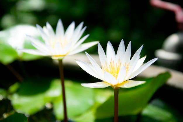 Tło białe kwiaty lotosu