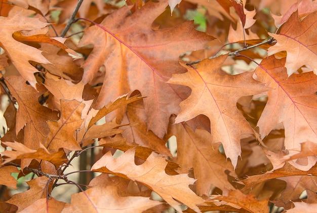 Tło brązowych jesiennych liści dębu kanadyjskiego naturalne tła i tekstury