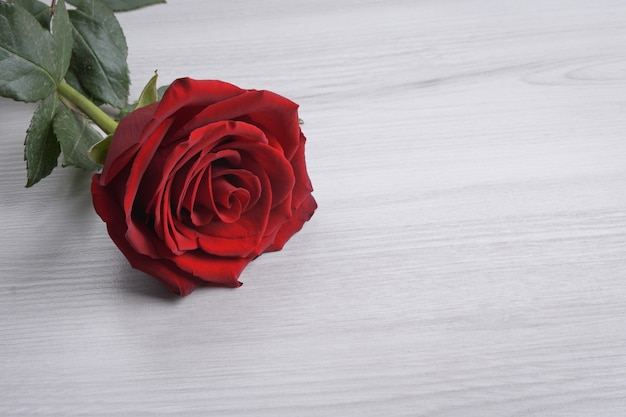 Tło dla karty z pozdrowieniami walentynki. koncepcja walentynki. czerwona, piękna kwitnąca róża. ścieśniać.