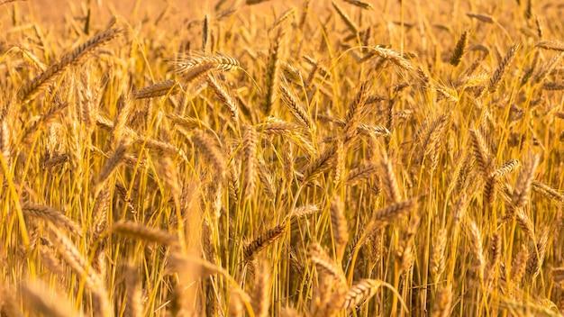Tło dojrzałych żółtych kłosków pszenicy. pole przed zbiorami o zachodzie słońca. częściowo zamazany