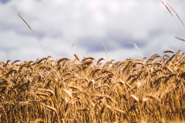 Tło dojrzewających kłosów pszenicy żółtej na tle zachmurzonego nieba pomarańczowy zachód słońca. kopiowanie miejsca promieni s? o? ca na horyzoncie w wiejskiej ?? ki bliska, natura fotografia idea bogatych zbiorów