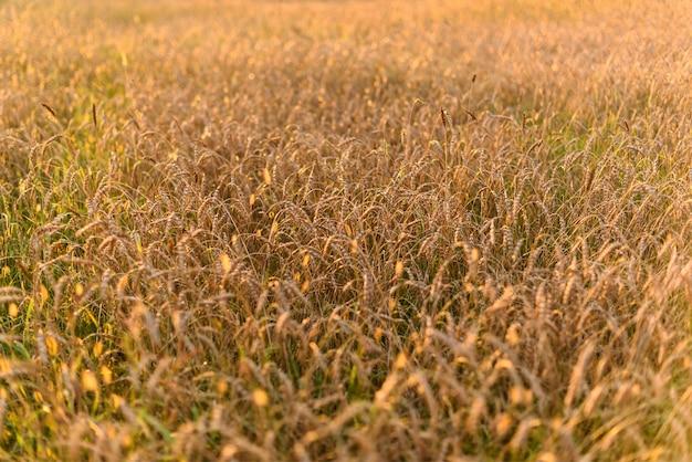 Tło dojrzewania kłosów pola pszenicy złota łąka w zachodzie słońca