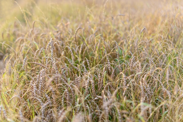 Tło dojrzewania kłosów pola pszenicy złotej łąki.