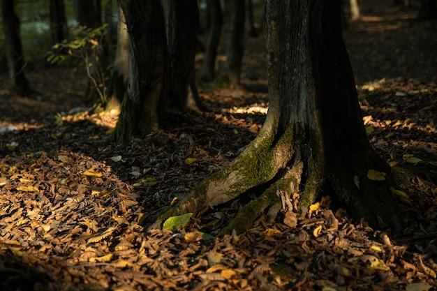 Tło, drzewo, kora grabu i mech.close up.beautiful artystyczne światło.