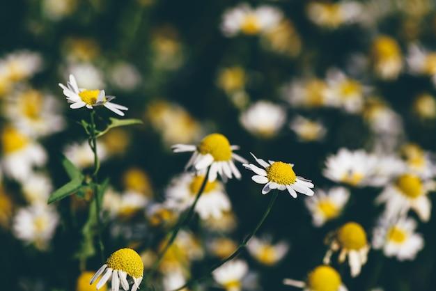 Tło dzikich kwiatów rumianku na trawniku w letni dzień
