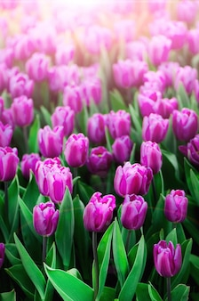 Tło fioletowe, fioletowe, liliowe tulipany. koncepcja lato i wiosna, miejsce na kopię.