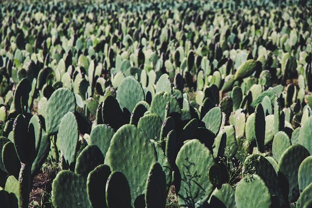 Tło gospodarstwa kaktusa