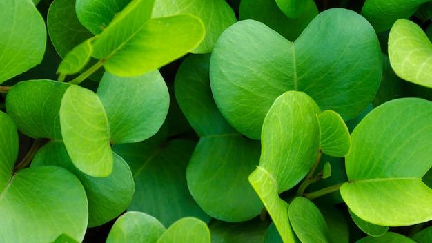 Tło jasnozielonych liści, rosnących roślin pohuehue biegaczy plażowych lub porannej chwały.