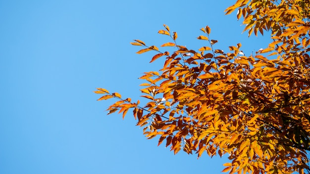 Tło jesienne liście w japonii