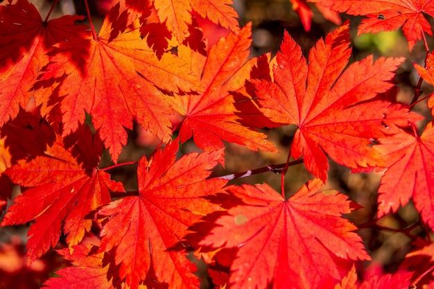 Tło jesiennych czerwonych liści klonu w słońcu