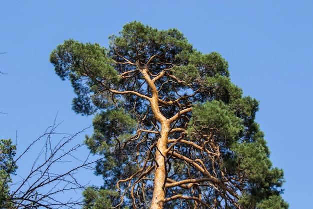 Tło kory i ciała sosny, zbliżenie, piękne tło drzewa