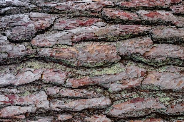 Tło kory sosny. zbliżenie tekstury czerwony pinus. szczegółowo teksturowana szorstka naturalna powierzchnia