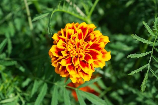 Tło kwiat, piękny i jasny kwiat tagtes