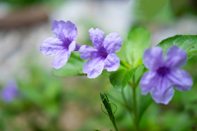 Tło kwiat ruellia tuberosa