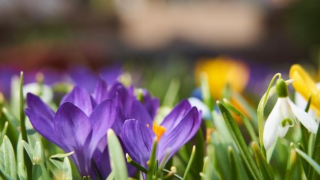 Tło kwiatów pierwiosnek krokus przebiśnieg