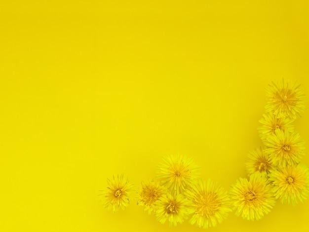 Tło kwiatów, żółte głowy mniszek. mlecze na żółto