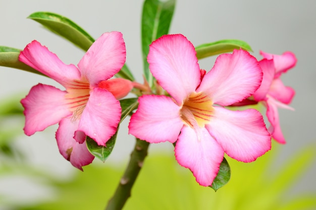 Tło kwiatowy. zamyka up tropikalnego kwiatu menchii adenium. pustynia wzrastał na zielonym tle.