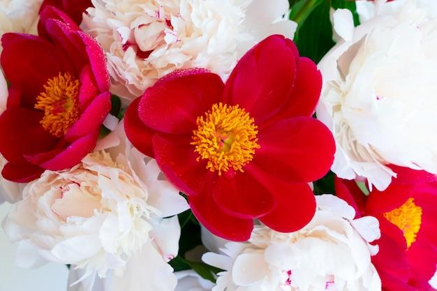 Tło kwiaty świeżej piwonii