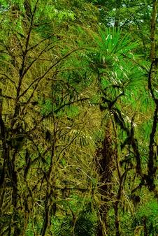 Tło - las subtropikalny, gaj cisowo-bukszpanowy z omszałymi pniami drzew