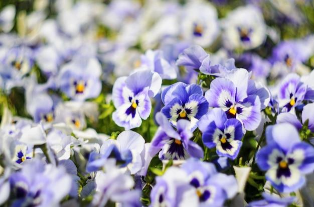 Tło lato kwiaty, łąka żywe bratki (altówki), selektywne focus, płytkiej głębi ostrości
