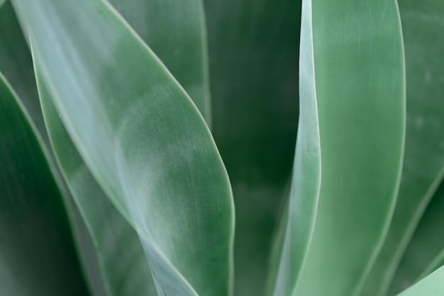 Tło liści agawy