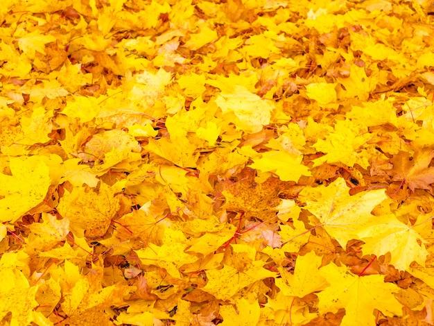 Tło liści jesienią żółte