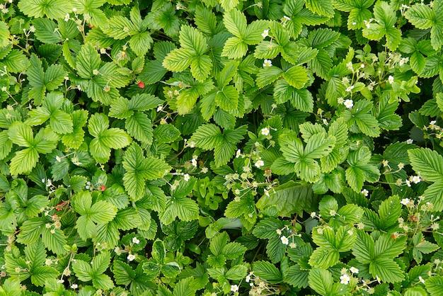 Tło lub tekstura wiosny kwitnące dzikie rośliny truskawkowe, fragaria vesca