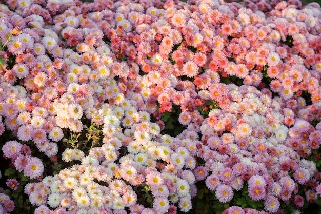 Tło małe kwiaty różowe chryzantemy. zbliżenie