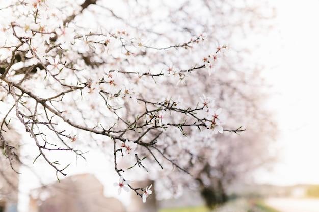 Tło migdał kwitnie drzewa. wiśniowe drzewo z delikatnymi kwiatami. niesamowity początek wiosny. selektywne ustawianie ostrości. koncepcja kwiaty.