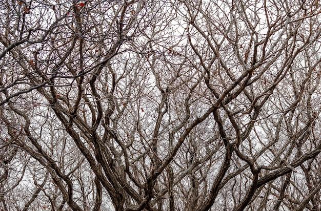 Tło mocno skręcone krzywe gałęzi drzew w zimowym lesie na tle jasnego nieba. do stosowania jako tekstura.