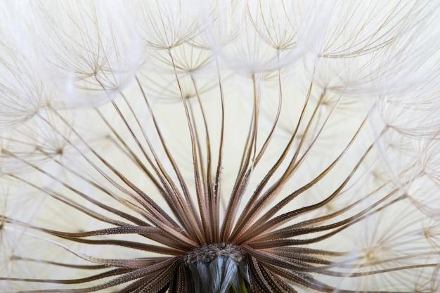 Tło nasion mniszka lekarskiego. nasiona makro zbliżenie. wiosenna natura