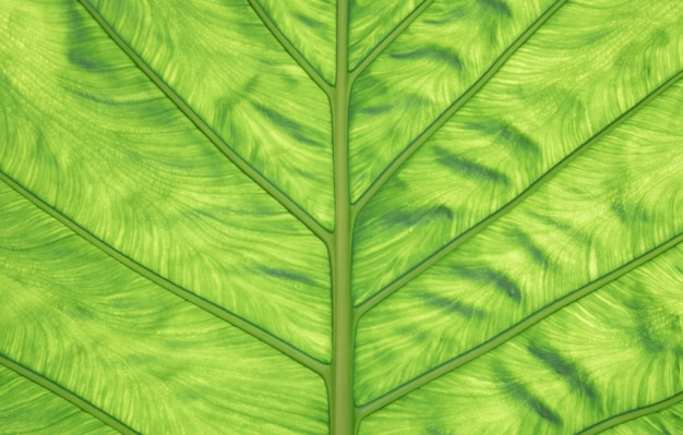 Tło natura. zbliżenie zielony liść tekstury jako tło