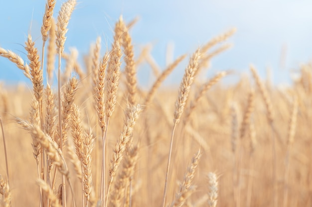 Tło natury pole dojrzałej pszenicy na tle błękitnego nieba