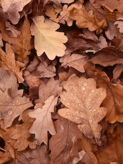 Tło opadłych suchych liści dębu. jesienne liście z kroplami rosy z bliska.