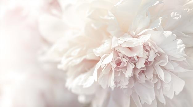 Tło płatki piwonii. nieostrość obraz kwitnących różowe i białe piwonie w świetle słonecznym. selektywne skupienie. mała głębia ostrości