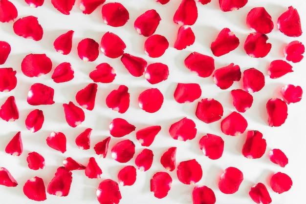 Tło płatków czerwonych róż walentynki