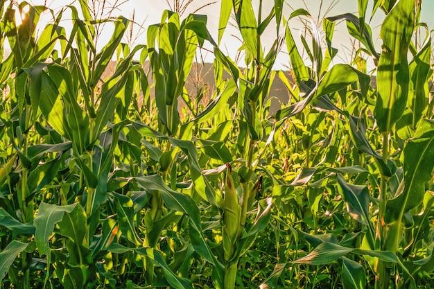 Tło pola kukurydzy