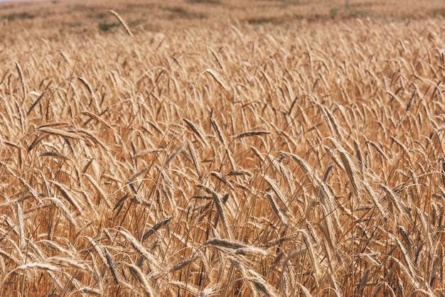 Tło pola pszenicy. selektywna ostrość