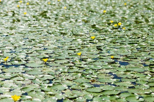 Tło przyrody z zielonymi liśćmi i kwiatami lilii wodnych na wodzie regionu omskiego rzeki irtysz