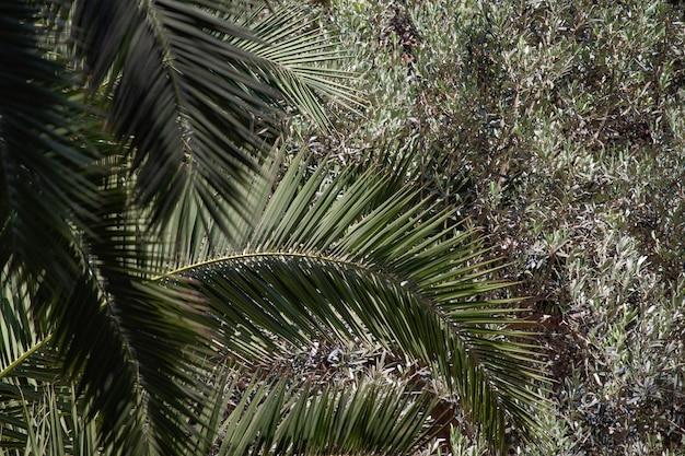 Tło rom palmy na innych zielonych gałęziach drzew