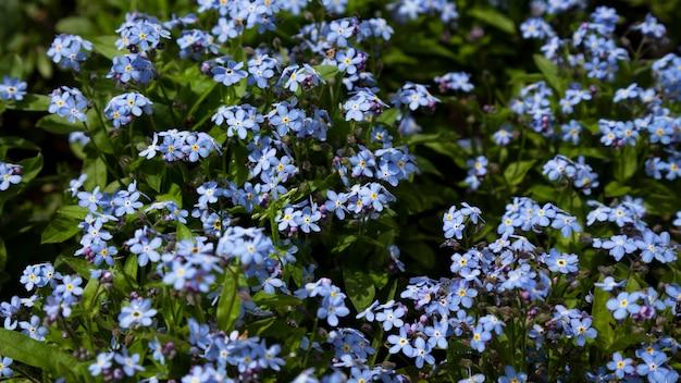 Tło roślin łąkowych: niebieskie małe kwiaty - niezapominajka z bliska i zielona trawa. płytkie dof